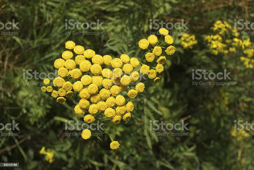 Tansy .Tanacetum vulgare .Wrotycz pospolity. royalty-free stock photo