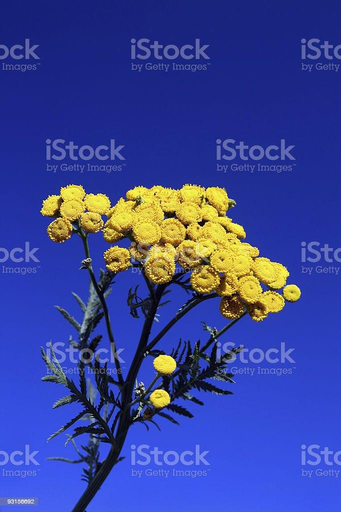 tansy under blue sky stock photo