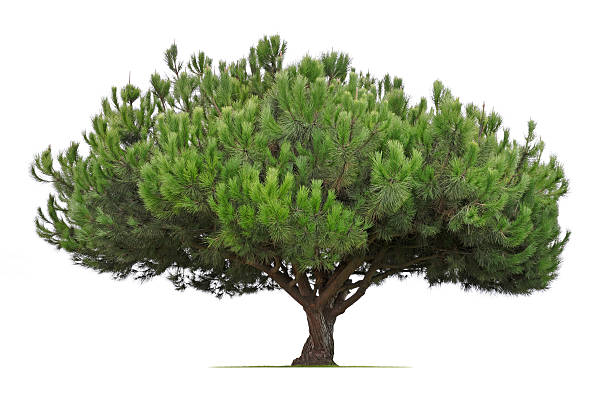 tanyosho pine tree isolated on white background - pinaceae stock photos and pictures