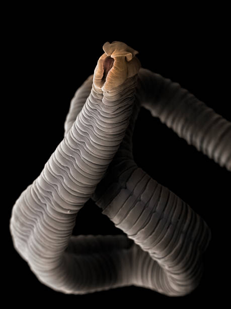 Tapeworm (Eubothrium crassum), SEM Tapeworms are parasites that inhabit the intestines of animals and humans. They do not possess a digestive tract and absorb nutrients from digested food of the host through their skin. Eubothrium crassum is a widely distributed intestinal parasite of salmonids. The tapeworm consists of a head equipped with grooves used in attachment to the intestinal wall of the host. Coloured scanning electronmicrograph (SEM) magnified x28 when printed at 10cm wide. proglottid stock pictures, royalty-free photos & images