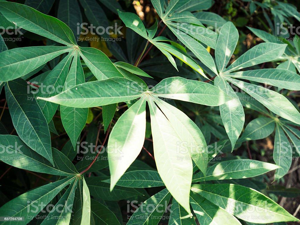 Tapioca or cassava plant. stock photo