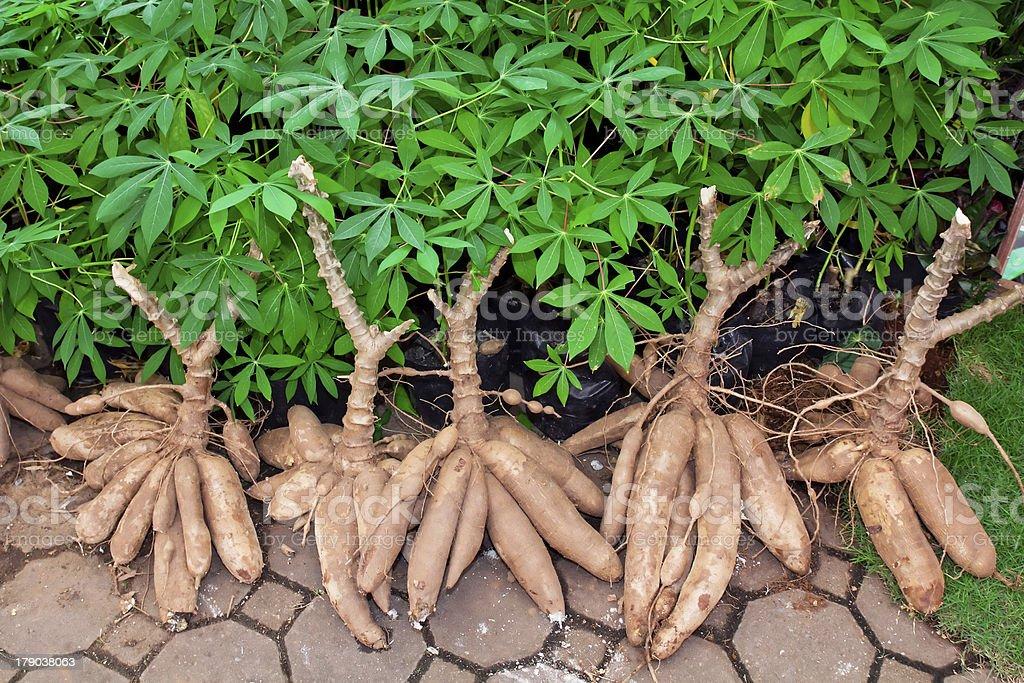 Tapioca Plants Cassava royalty-free stock photo