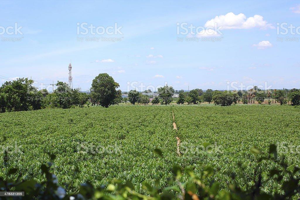 Tapioca plants royalty-free stock photo