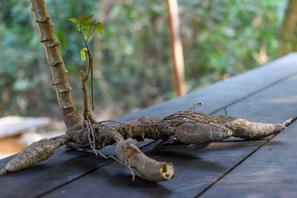 Eine Tapiokawurzel auf einem Tisch, der bereit ist, geschält und roh gegessen zu werden. – Foto