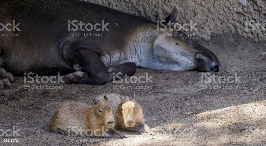 Tapir and Capybara stock photo