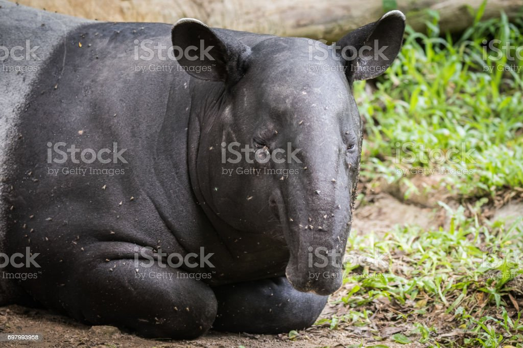 tapir has insects disturb all the time while lying down stock photo