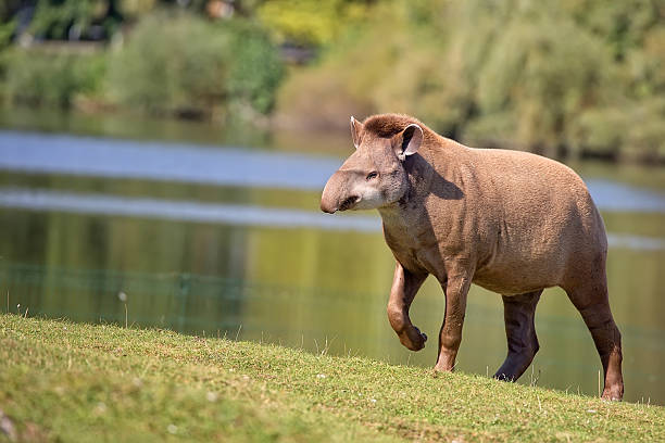 Tapir in a clearing stock photo