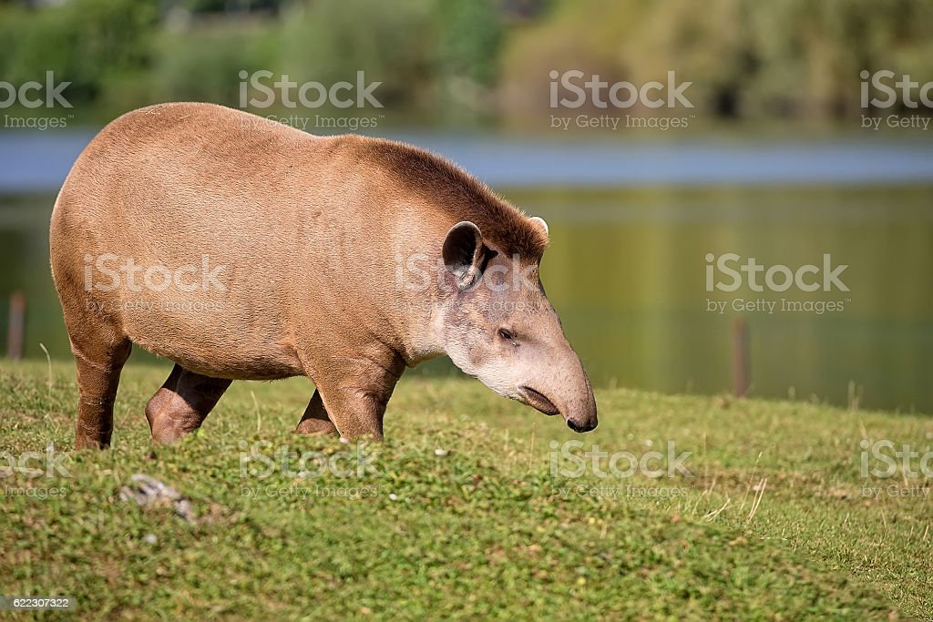 Tapir in a clearing, stock photo