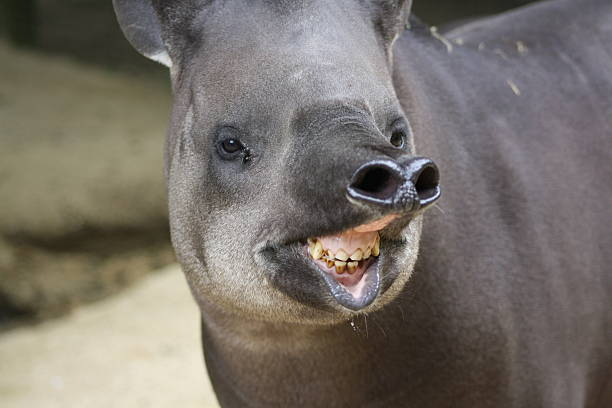 Tapir in a wildlife park stock photo