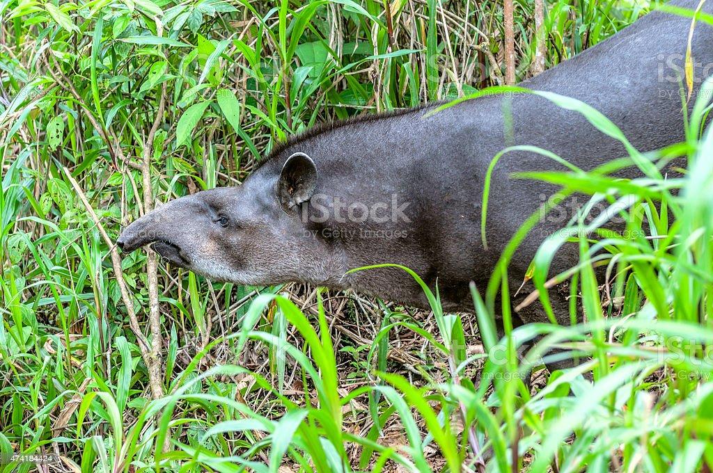 Tapir in ecuadorian Amazonia stock photo
