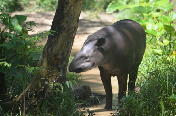 A Tapir in the Amazon rainforest stock photo