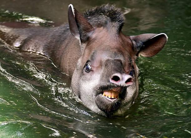 Tapir in water picture id530803356?b=1&k=6&m=530803356&s=612x612&w=0&h=acxekefeqlxepo0 fd15mcy 5b7rslbowum7exzg25c=