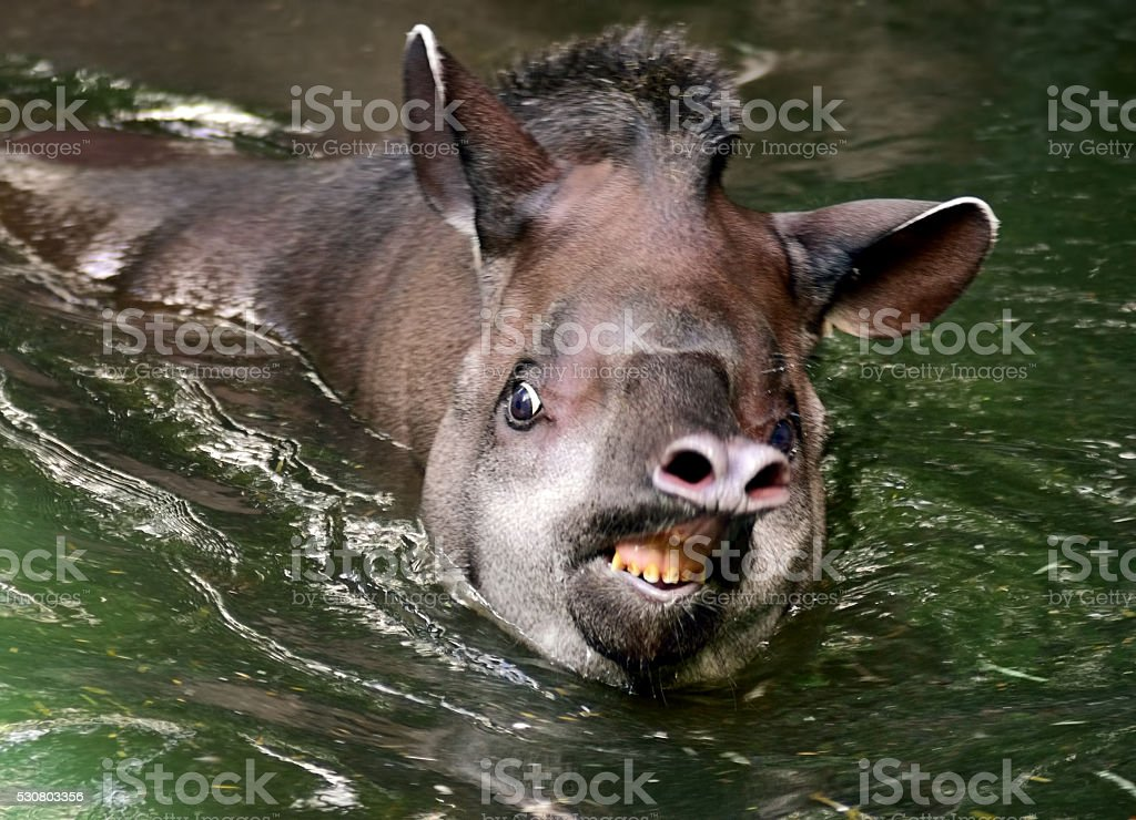 tapir in water stock photo