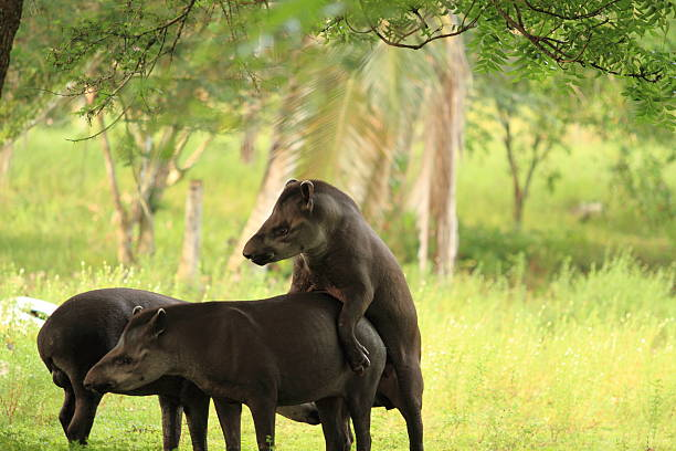 Tapir Mating stock photo