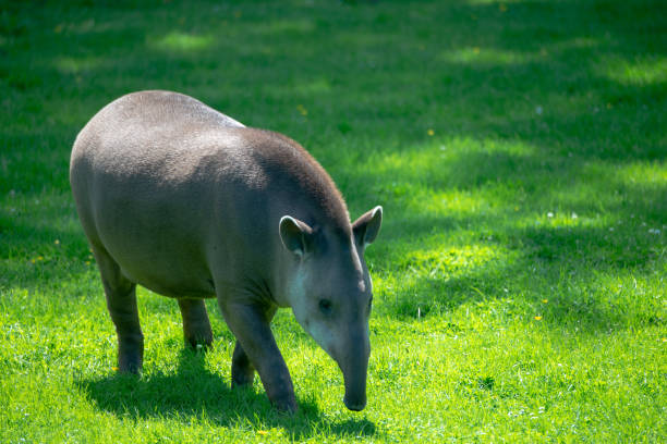 tapir on grass meadow stock photo
