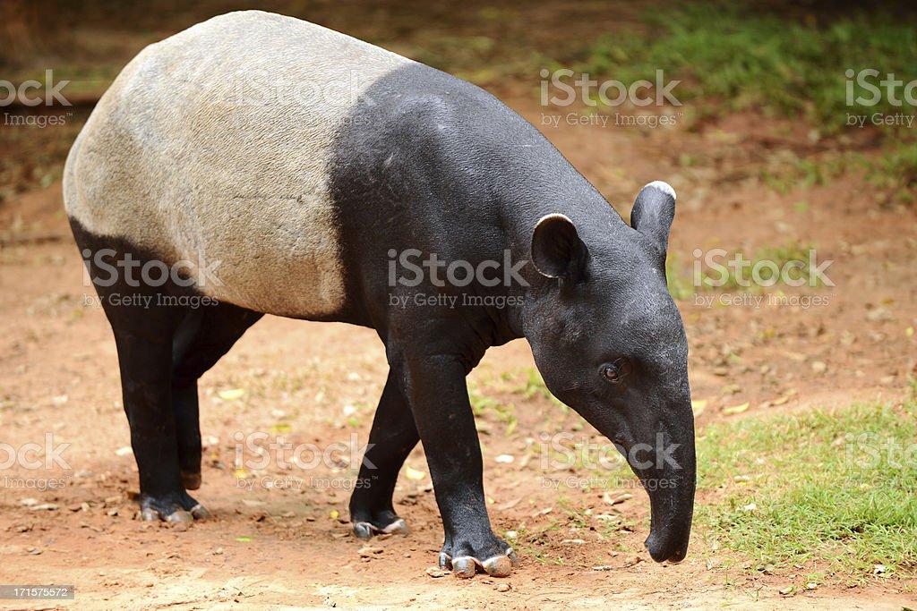 Tapir (Tapirus indicus) stock photo