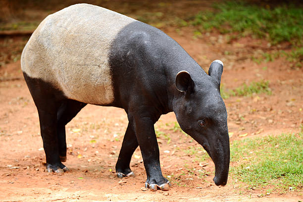 Tapir (Tapirus indicus) stock photo