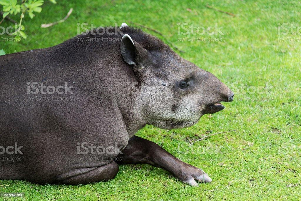 Tapir stock photo
