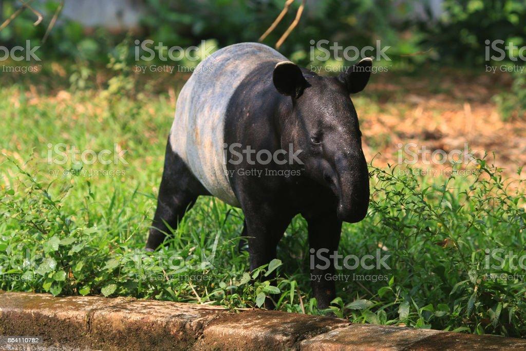Tapir royalty-free stock photo