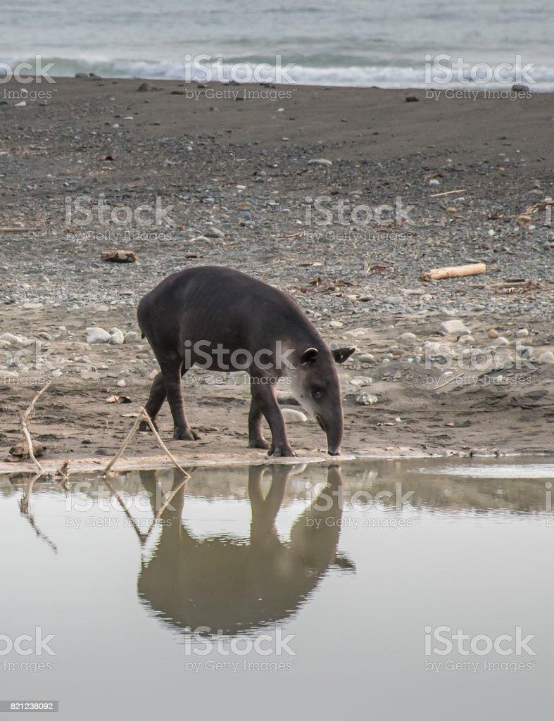 Tapir prepared to take a bath in Corcovado stock photo