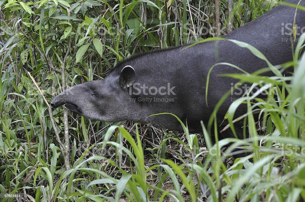 Tapir Profile royalty-free stock photo