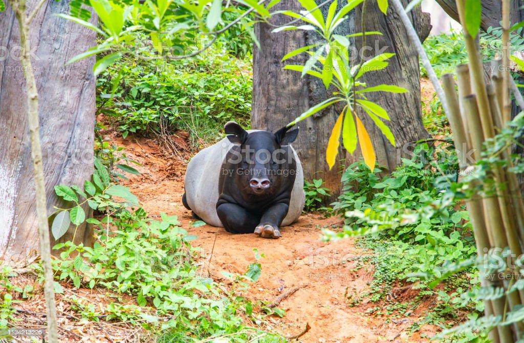 tapir sitting in nature ,wildlife scene from tropical nature,Tapir is...