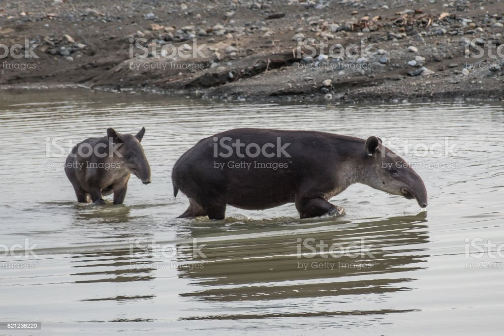 Tapir taking a bath in Corcovado with brood stock photo