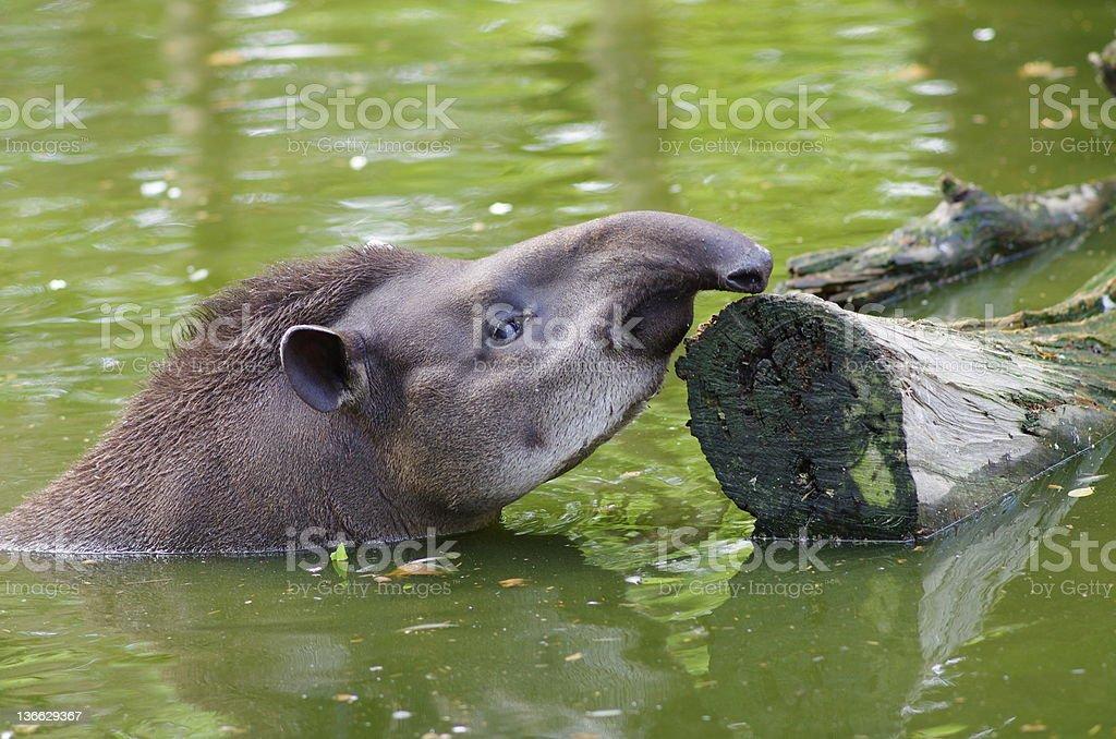 Tapir taking a swim royalty-free stock photo