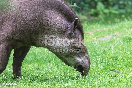 istock Tapir, Tapirus 819030026