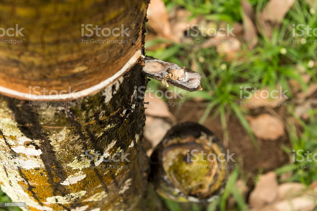 Tapped Hevea brasiliensis tree collecting the rubber stock photo