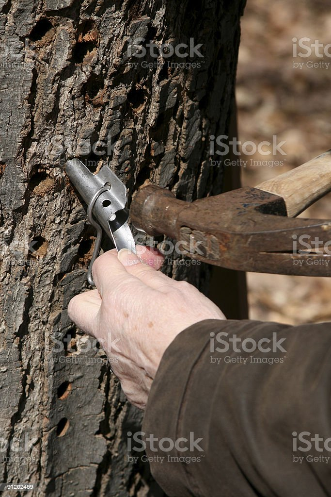 Tapping for Maple Syrup in Michigan stock photo