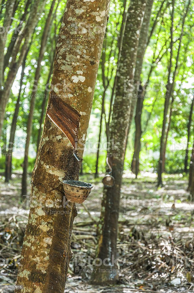 Tapping latex from a rubber tree closeup stock photo