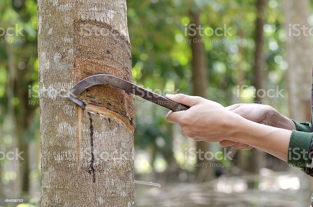 Tapping latex from a rubber tree. stock photo