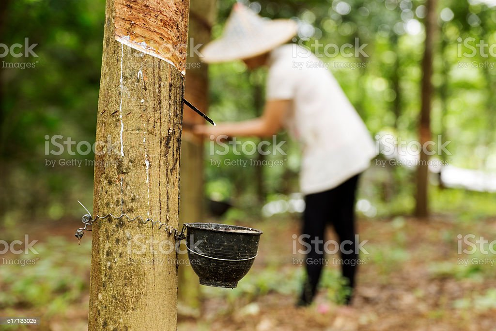 tapping latex from the rubber tree stock photo