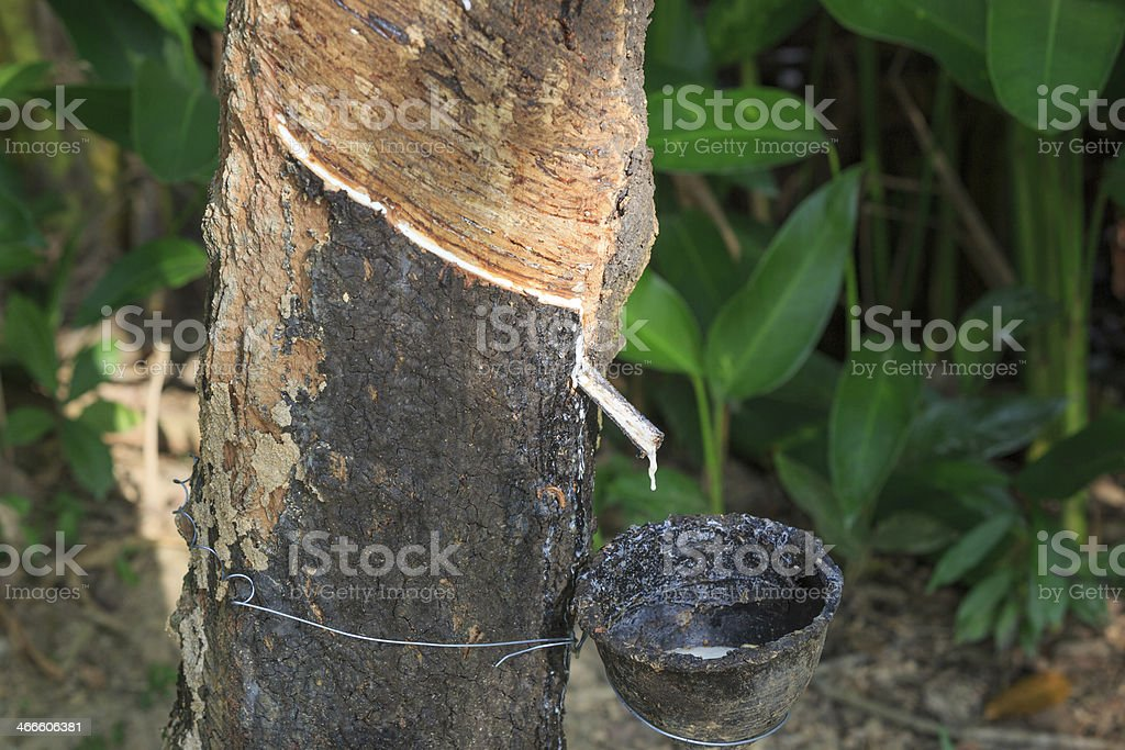 Tapping of a rubber tree stock photo