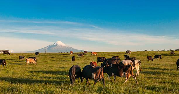 Taranaki farm stock photo