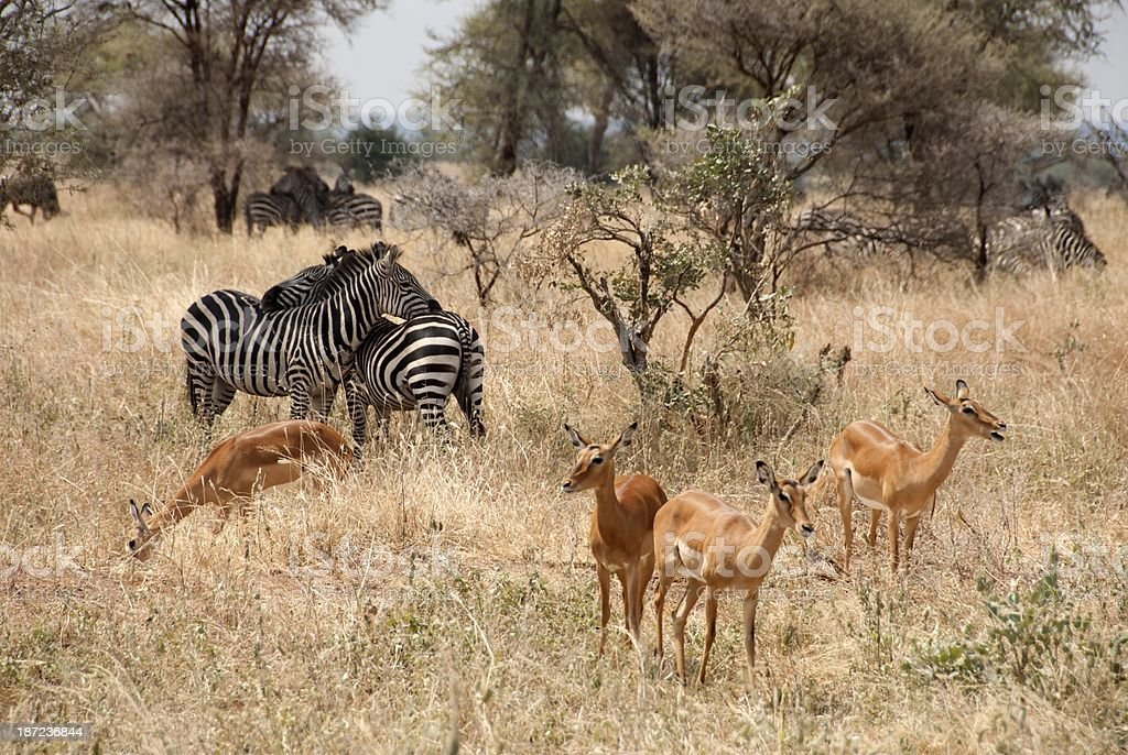 Tarangire National Park royalty-free stock photo