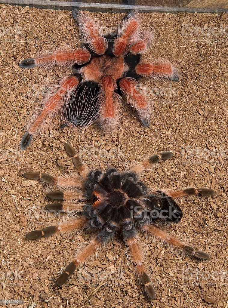 Tarantula and skin after molting stock photo