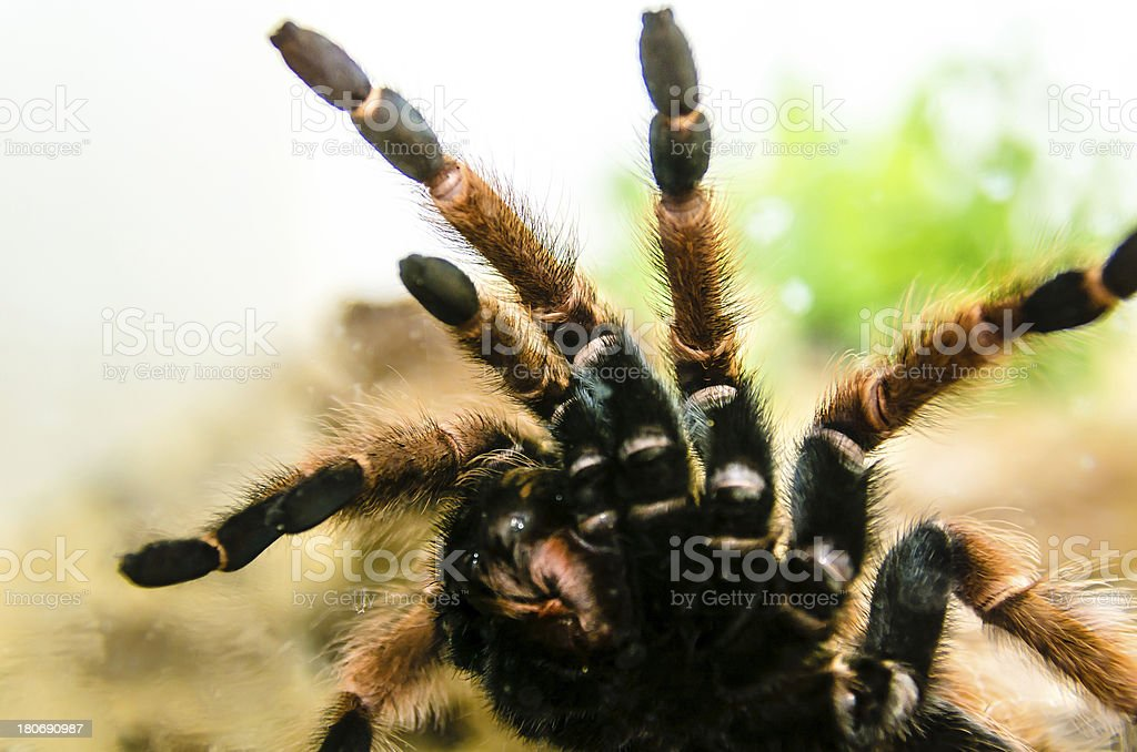 Tarantula attacking royalty-free stock photo