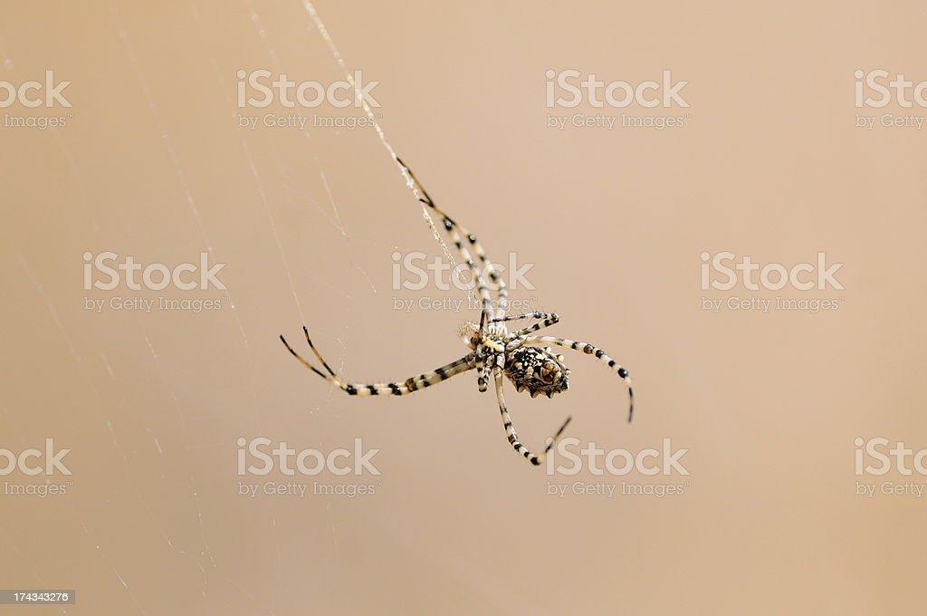 Tarantula in a field royalty-free stock photo