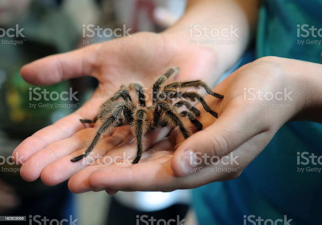 tarantula in hands stock photo
