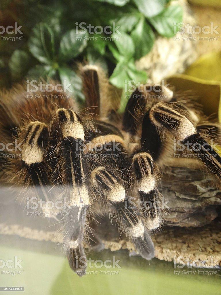 Tarantula in terrarium stock photo