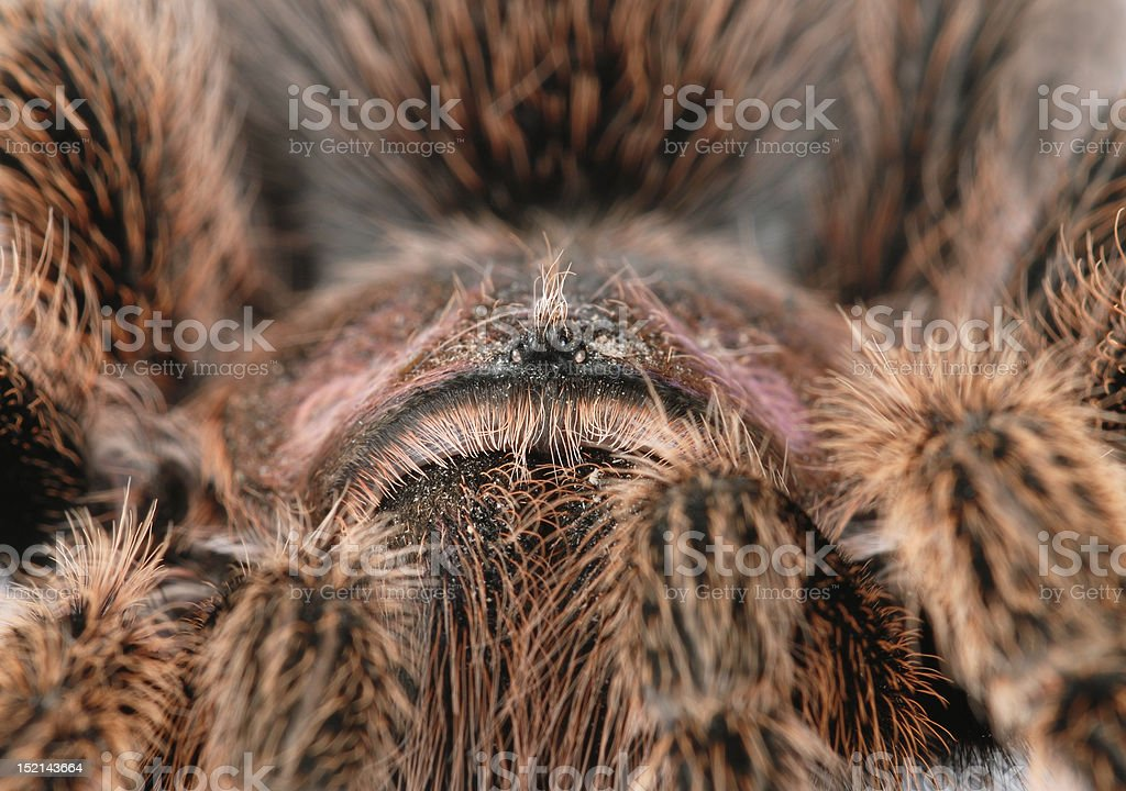 Tarantula Molting Stock Photo More Pictures Of Animal Istock