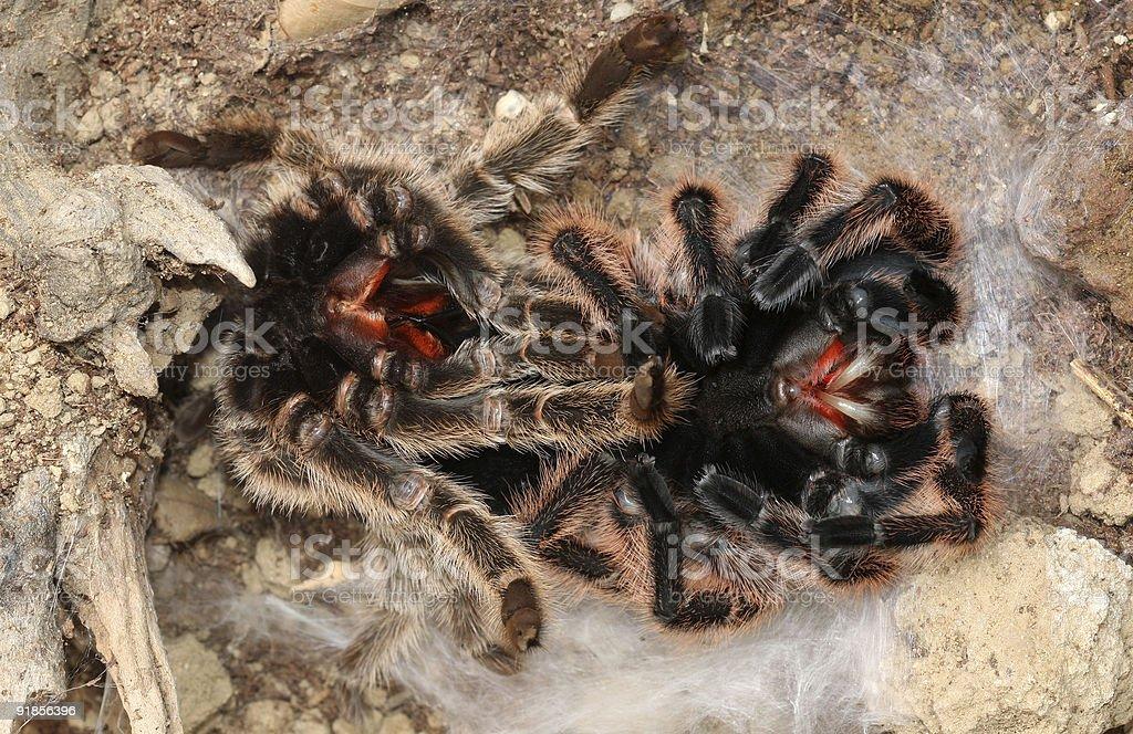 Tarantula molting. stock photo