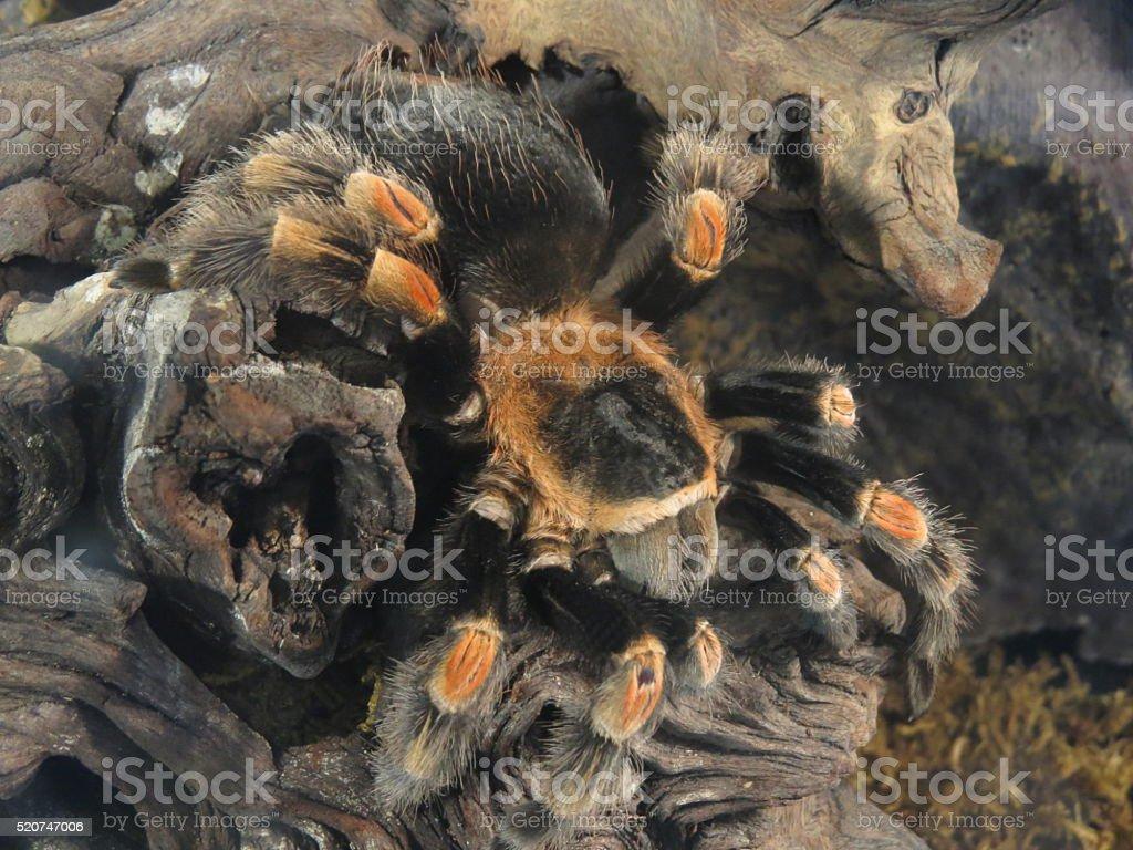 tarantula on the rocks stock photo