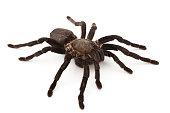 tarantula isolated on white