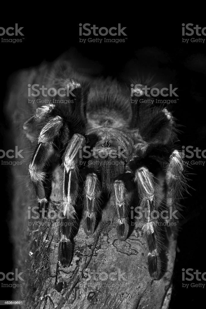 Vogelspinne – Foto