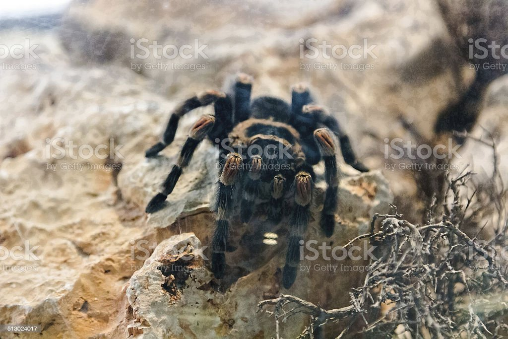 tarantula spider climb on a rock stock photo