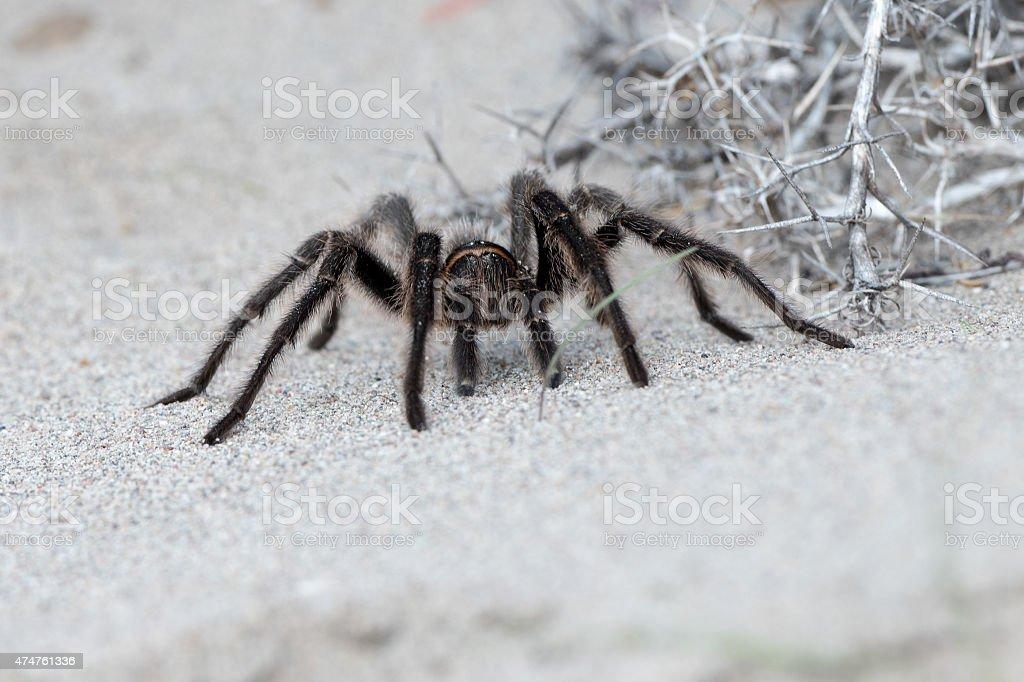 Tarantula Spider close on the sand background stock photo