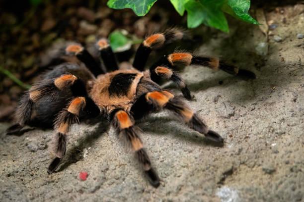 Tarantula Spinne Nahaufnahme. Spinne (Brachypelma Smithi) – Foto